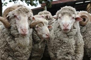 Merino sheep on Glen Orkney station rams 1